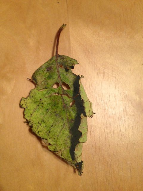 cranky leaf