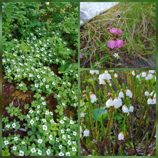 Alaska Flora